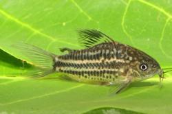 Corydoras(ln5) bilineatus - Click for species data page