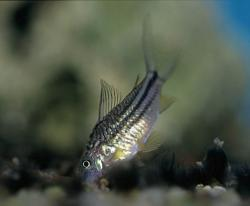 Corydoras(ln5) cf. elegans