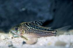 Corydoras(ln5) elegans - Click for species data page