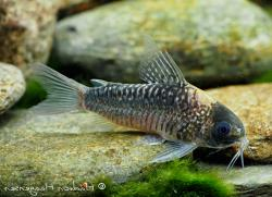 Corydoras(ln5) nijsseni - Click for species data page