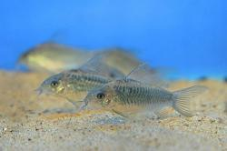 Corydoras(ln5) sp. (C041) - Click for species data page