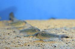 Corydoras(ln5) sp. (C041)