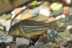 Corydoras(ln5) sp. (C088) - Click for species data page