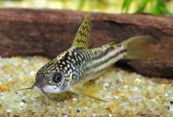 Corydoras(ln5) sp. (C123) - Click for species data page