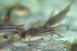 Corydoras(ln5) sp. (C123)