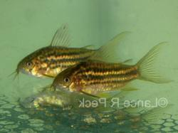 Corydoras(ln5) sp. (C126) - Click for species data page