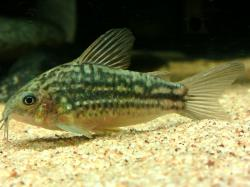 Corydoras(ln5) sp. (C132) - Click for species data page