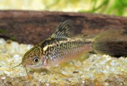 Corydoras(ln5) sp. (Cw008) - Click for species data page