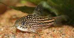Corydoras(ln5) sp. (Cw018) - Click for species data page