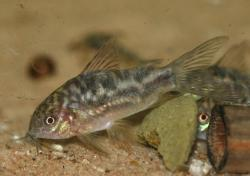 Corydoras(ln5) sp. (Cw022) - Click for species data page