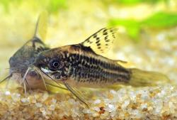 Corydoras(ln5) sp. (Cw044) - Click for species data page