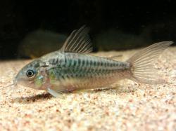 Corydoras(ln5) sp. (Cw044)