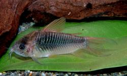 Corydoras(ln5) sp. (Cw048) - Click for species data page