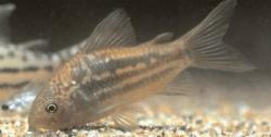 Corydoras(ln5) undulatus - Click for species data page