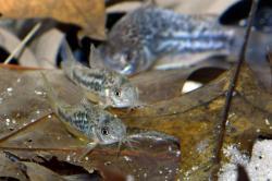 Corydoras(ln5) undulatus