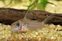 Corydoras(ln6) albolineatus - Click for species data page