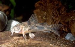 Corydoras(ln6) carlae - Click for species page