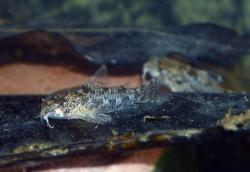 Corydoras(ln6) cochui