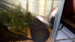 Corydoras(ln6) diphyes