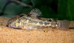 Corydoras(ln6) gladysae - Click for species page