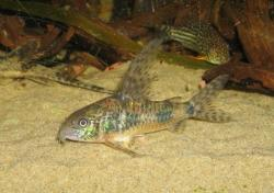 Corydoras(ln6) longipinnis - Click for species data page