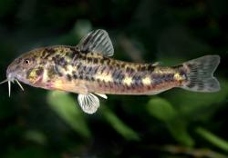 Corydoras(ln6) micracanthus - Click for species data page