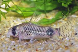 Corydoras(ln6) ortegai - Click for species data page