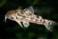 Corydoras(ln6) petracinii - Click for species data page