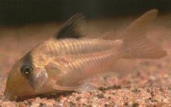 Corydoras(ln6) potaroensis - Click for species data page