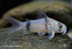 Corydoras(ln6) reynoldsi - Click for species page