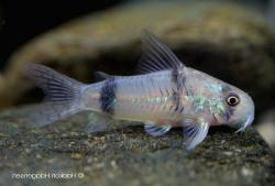 Corydoras(ln6) reynoldsi - Click for species data page