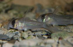 Corydoras(ln6) sp. (C040) - Click for species data page