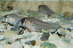 Corydoras(ln6) sp. (C040)
