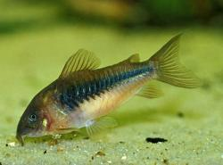 Corydoras(ln7) aeneus - Click for species data page