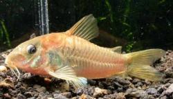 Corydoras(ln7) cf. aeneus(gold)
