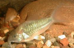 Corydoras(ln7) cf. aeneus - Click for species page