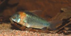 Corydoras(ln7) eques - Click for species data page