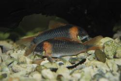 Corydoras(ln7) eques