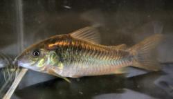 Corydoras(ln7) schultzei - Click for species data page