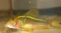 Corydoras(ln7) sp. (Cw009) - Click for species data page