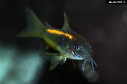 Corydoras(ln7) sp. (Cw010) - Click for species data page