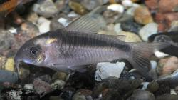Corydoras(ln7) zygatus - Click for species data page