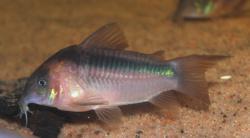 Corydoras(ln7) zygatus