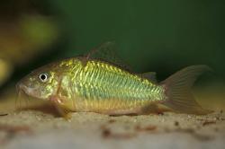 Corydoras(ln8sc1) splendens - Click for species page