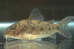Corydoras(ln8sc2) sp. (C067) - Click for species data page