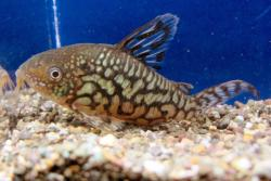 Corydoras(ln8sc3) geryi - Click for species data page