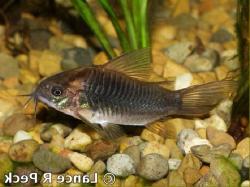 Corydoras(ln8sc3) latus - Click for species data page