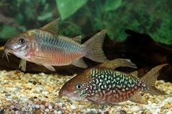 Corydoras(ln8sc3) pantanalensis - Click for species data page