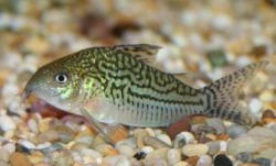 Corydoras(ln8sc3) sodalis - Click for species data page