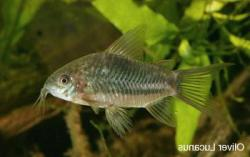 Corydoras(ln8sc3) sp. (Cw033) - Click for species data page